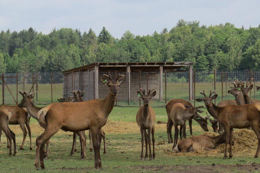 Бизнесмен возрождает родную деревню в Лидском районе и разводит таежных оленей