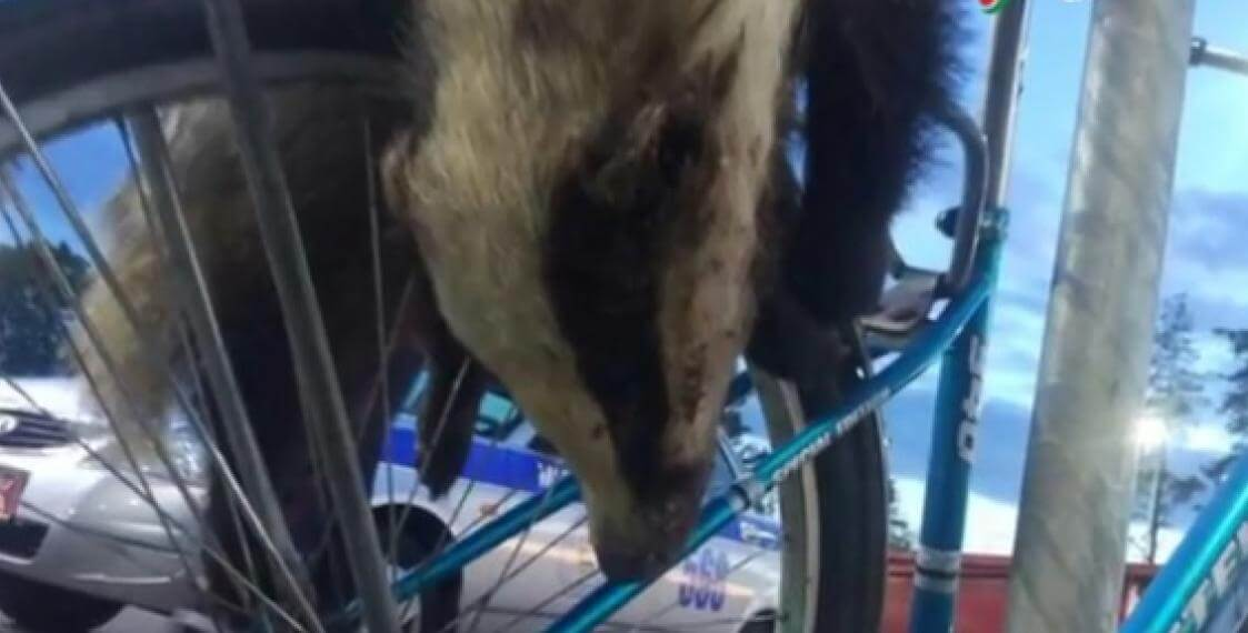 В Лидском районе мужчина на велосипеде возил мертвого барсука