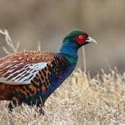 В Гродненской области будут выращивать фазанов для охоты