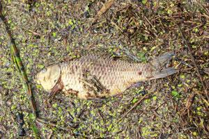В Немане случился мор рыбы [ФОТО]